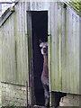 NY6407 : Alpaca in the doorway, Raisbeck by Karl and Ali