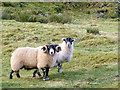NM8620 : Tup and ewe, Scammadale by sylvia duckworth