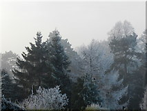 SK2169 : Frosted conifers in the mist by Peter Barr