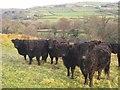 SX5077 : Cattle by the West Devon Way by Derek Harper