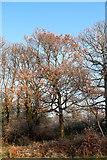 TQ2995 : Oak Tree, Oakwood Park, London N14 by Christine Matthews