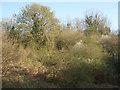 SS8577 : Spring vegetation, Cwm y Befos by eswales