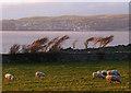 SD4574 : Bay side sheep, Gibraltar Farm by Karl and Ali