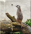 SD3335 : Meerkat at Blackpool Zoo by Gerald England