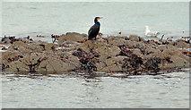 J4482 : Cormorant near Helen's Bay by Albert Bridge