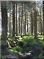 SX6577 : Conifer Plantation near Bellever by Tony Atkin