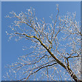 SE7974 : Frosted branches by Pauline E