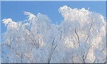 TL8063 : Hoar frosted tree by Bob Jones