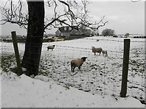 H5572 : Sheep, Bracky by Kenneth  Allen