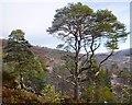 NH3239 : Scots Pine, Glen Strathfarrar by Craig Wallace