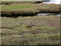 SY9788 : Sika stag on the salt marsh north of Shipstal Point by Phil Champion