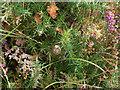 SY9787 : Egg sac of Argiope bruennichi (wasp spider) by Phil Champion