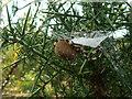 SY9787 : Four spot orb weaver (Araneus quadratus) near Coombe Heath pond, RSPB Arne nature reserve by Phil Champion