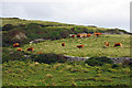 SY9976 : Cattle grazing above Hedbury Quarry, Isle of Purbeck by Phil Champion
