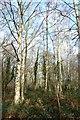 TQ6792 : Trees on  Laindon Common by John Myers