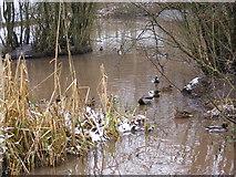 SO9194 : Park Ducks by Gordon Griffiths
