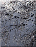 SK2775 : Birch tree in snow by Andrew Hill