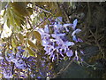SD4974 : Wisteria at Leighton Hall by Barbara Carr