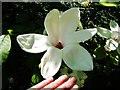 SD3577 : Magnolia grandiflora by Barbara Carr