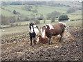 SE1033 : Horses grazing - off Cliffe Lane by Betty Longbottom