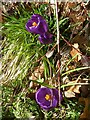 SJ0501 : Crocuses beside the River Rhiw by Penny Mayes