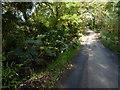 SW7114 : Gunnera, St Ruan by Ivan Hall