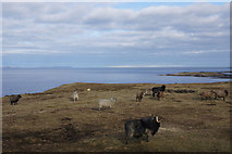 HU5966 : Sheep at Skaw, Whalsay by Mike Pennington