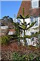 TQ6412 : Monkey Puzzle Tree by Julian P Guffogg