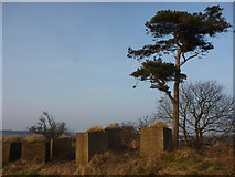 NT6378 : East Lothian Landscape : Lonesome Pine at Hedderwick by Richard West