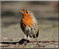 NT4936 : A robin (Erithacus rubecula) by Walter Baxter