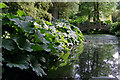 SP0583 : Gunnera near the Japanese Bridge, Winterbourne Botanic Garden by Phil Champion