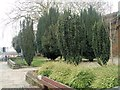 SP4540 : Conifers in St Mary's churchyard, Banbury by Paul Gillett