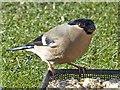 SO1107 : Female Bullfinch, Rhymney by Robin Drayton