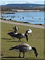 SO1210 : Canada Geese grazing at Bryn Bach Park by Robin Drayton