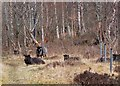 NG9319 : Goats near Kintail Lodge by Jim Barton