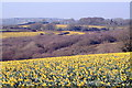 SW7630 : Daffodils as far as the eye can see! by Rod Allday