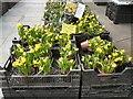 SJ9494 : Dwarf Daffodils for sale by Gerald England