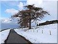 NY8955 : Solitary larch tree near Kingslaw Plantation by Oliver Dixon