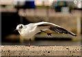 J3474 : Black-headed gulls, Belfast (2013-4) by Albert Bridge