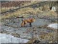 NS6161 : Urban fox by Thomas Nugent