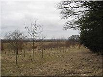 NT5570 : Young plantation at Linplum by James Denham