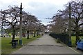 SK5438 : Cherry trees in Highfield Park by David Lally