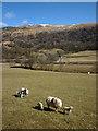 NY5002 : Sheep and new lambs, Longsleddale by Karl and Ali