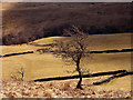 NY4901 : A tree above Dockernook Gill by Karl and Ali