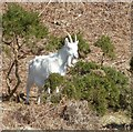 NS0530 : Saanen goat, Holy Island by Rob Farrow