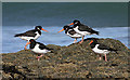 NT5885 : Oystercatchers at Canty Bay by Walter Baxter