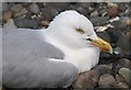 NT5785 : A herring gull on the East Lothian coastline by Walter Baxter
