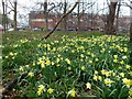 SK4390 : Daffodils at the District General Hospital by Graham Hogg