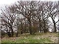 NZ2555 : Copse trees by Robert Graham