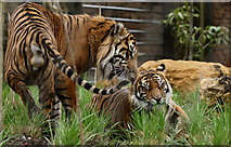 TQ2883 : Tiger Territory, London Zoo by Peter Trimming